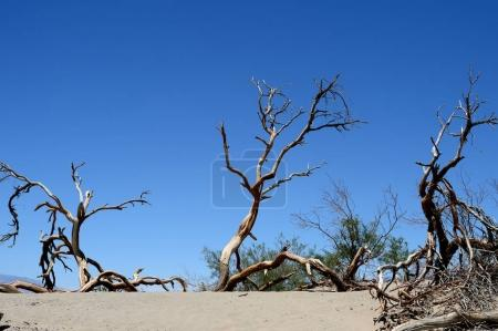 Dead trees in the Death Valley National Park, California