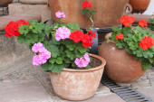 Pots of Red and Pink Geraniums