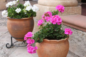 Pots of Colorful Geraniums on a Patio