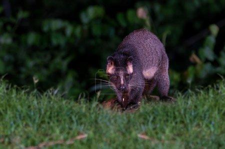 Asian Palm Civet at night