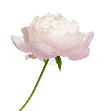 Photo pour Pivoine rose isolée sur blanc - image libre de droit