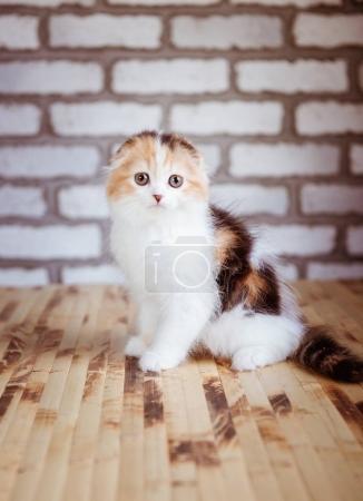 Lop-eared British kitten