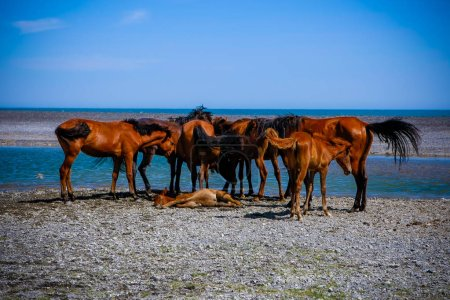 Foto de Una manada de caballos cerca de un potro enfermo que yace sobre guijarros cerca de un lago - Imagen libre de derechos