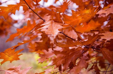 Photo pour Paysage d'automne. Des feuilles de chêne rouvre d'automne sur une branche au premier plan. Automne - image libre de droit