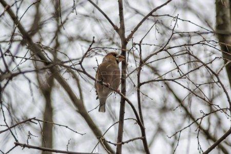Photo pour Beau chardonneret assis sur une branche d'arbre. Coccothraustes coccothraustes oiseau dans la nature, scène animalière, habitat naturel - image libre de droit