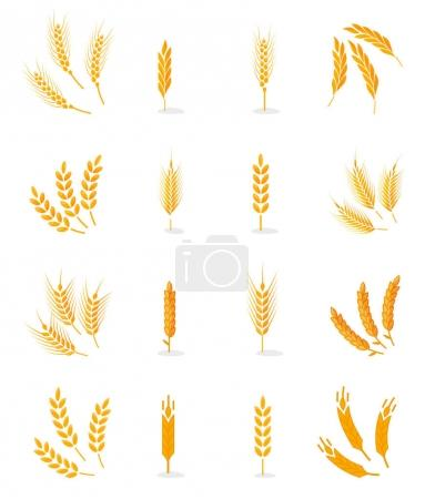 Illustration for Wheat, rye and barley isolated on white background. Vector wheat. Grain vector isolated. Harvest. Organic food. Farmers product. Agriculture product. Wheat vector. Design elements for bread packaging. - Royalty Free Image