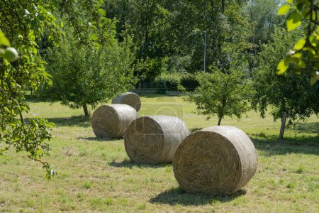 Four hay bales in summer between apple trees on sunny day.