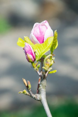 Photo for Spring season concept. Magnolia flower bloom on blurred background. Blossom of magnolia tree on sunny day, spring flower. New life awakening. Nature, beauty, environment. - Royalty Free Image