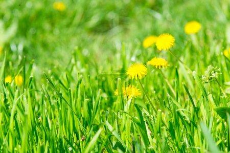 Foto de Flores de diente de León con flor de amarillo sobre verde hierba en día soleado. Temporada de primavera o verano. Naturaleza, belleza, medio ambiente. - Imagen libre de derechos