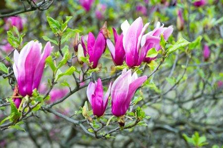 Photo pour Nouvelle vie, croissance. Arbre de Magnolia en fleurs violettes sur la journée ensoleillée, printemps. Fleur, fleur, floraison. Notion de saison de printemps. Nature, beauté, environnement. - image libre de droit