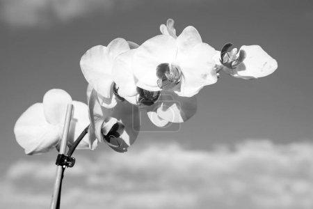 Foto de Blanca flor de la orquídea sobre fondo de cielo azul. Flor de la orquídea Phalaenopsis. Fondo floral. - Imagen libre de derechos
