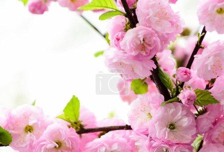 Foto de Árbol floreciente sakura., fondo floral natural. hermosas flores de primavera. flor de cerezo rosa. nueva vida que comienza. crecimiento de la naturaleza y despertar. Día de las mujeres. vacaciones del día de las madres. Tiempo para relajarse . - Imagen libre de derechos