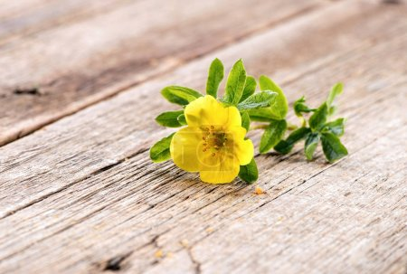 Potentilla fruticosa shrubby cinquefoil Goldfinger  flower close-up on natural wooden background