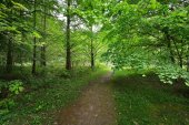 Walkway in a green Spring beech forest