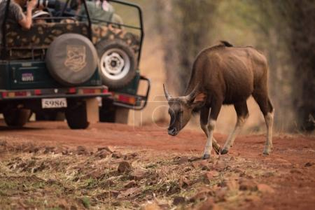 Baby Indian gaur crosses track past jeeps