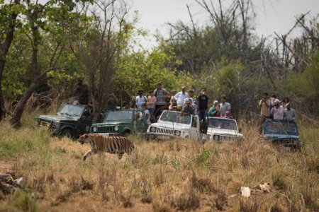 Bengal tiger walks past five crowded jeeps