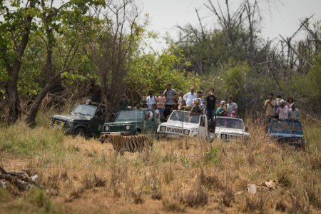 Bengal tiger walking past five crowded jeeps