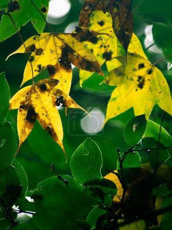 Photo pour Une belle image abstraite de la feuille jaune en yuksom au sikkim - image libre de droit
