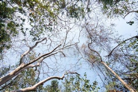 Photo pour Vue à faible angle de la saison d'automne arbre tropical avec feuilles sèches en forêt. - image libre de droit
