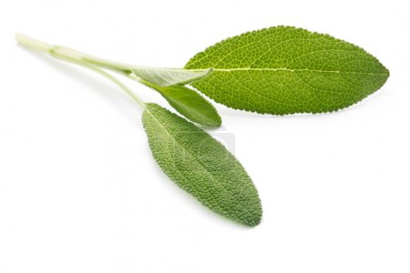 Photo for Close-up shot of Leaves Of Sage Isolated On White - Royalty Free Image