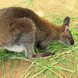 Dwarf kangaroo benette in the zoo...