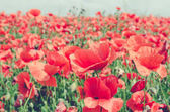 wild red poppy field