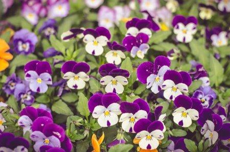 Photo pour Fleurs d'alto orange, blanc et violet colorées - image libre de droit