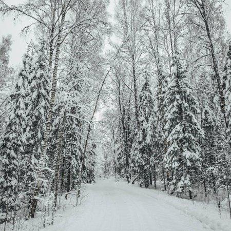 Photo pour Pine forest road during winter season, winter forest in Europe - image libre de droit