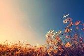 beautiful cosmos flowers field