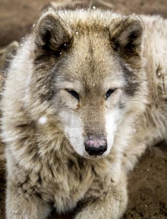 Photo pour Gros plan de chien loup gris hybride race avec des averses de neige dans l'air avec les yeux fermés - image libre de droit
