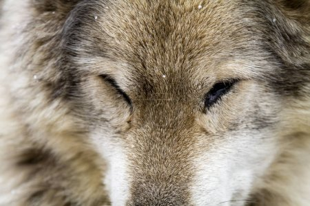 Photo pour Dormir gris loup chien hybride race gros plan - image libre de droit