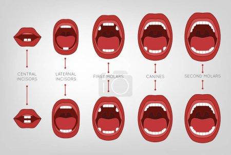 Baby First Teeth Chart