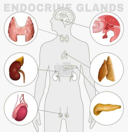 Endocrine Glands Image