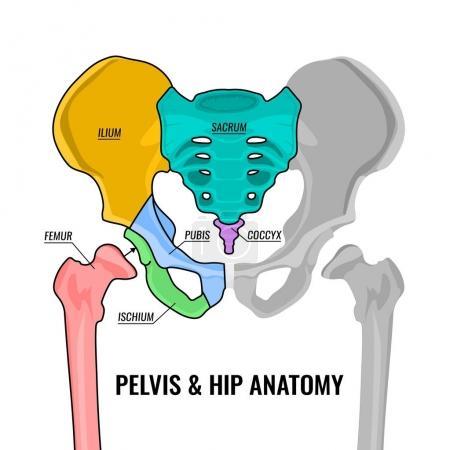 Human male anatomy scheme. Main pelvis bones - sac...