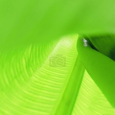 Texture of green banana leaf