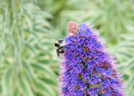 Photo pour Un bourdon récoltant le pollen d'Echium Candicans, communément appelé fierté de Madère, fleurit. Gros plan sur la profondeur de champ . - image libre de droit