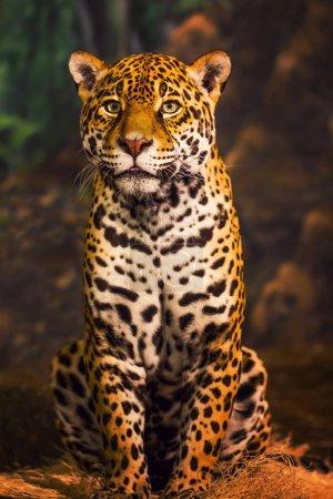 Jaguar Sitting on Rock