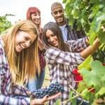 Farmers in huge vineyard at harvest time. People h...