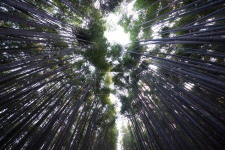 Beautiful Arashiyama Bamboo Forest in Kyoto, Japan
