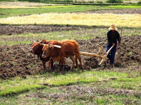 Photo pour DALI, KUNMING PROVINCE, CHINE - 10 AVRIL 2006 : Fermier chinois labourant un champ avec une charrue en bois et harnais de buffles - image libre de droit