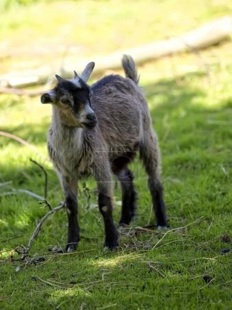 Young goat in a clearing