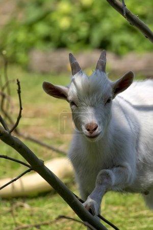 White goat, a portrait