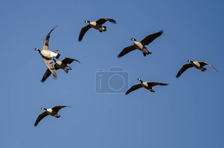 Flock of Canada Geese Flying in a Blue Sky...