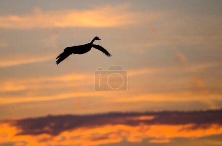Canada Goose Silhouetted in the Sunset Sky As It F...