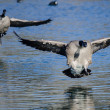 Canada Geese Landing On The Still Blue Pond Water...