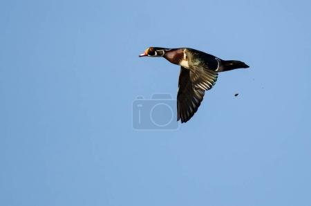 Wood Duck Pooping While Flying in a Blue Sky...