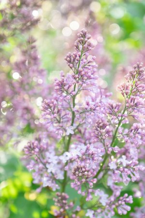 Photo for Lilac blossom in sunny spring may day. Background image with space for text. - Royalty Free Image