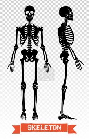Human Skeleton Transparent Set