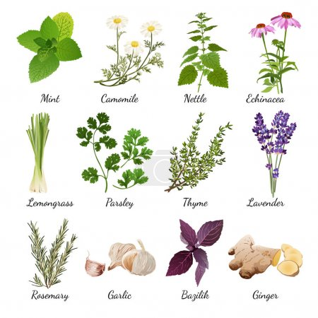 Illustration for Set with organic herbs objects and wildflowers elements isolated vector illustration - Royalty Free Image