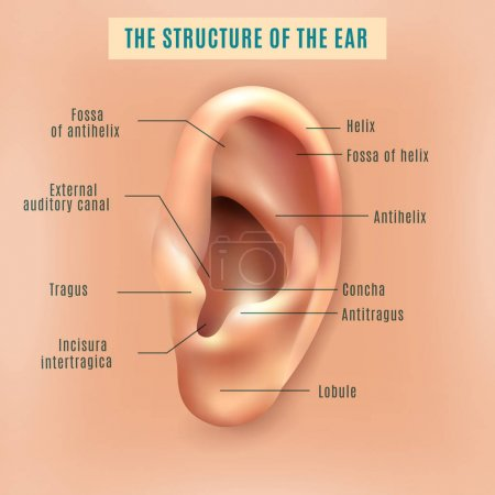 Illustration for Outer external part of human ear structure picture and definitions medical anatomy educative background poster vector illustration - Royalty Free Image